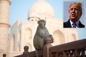 نگرانیها از حمله میمونها به ترامپ در سفر به هند