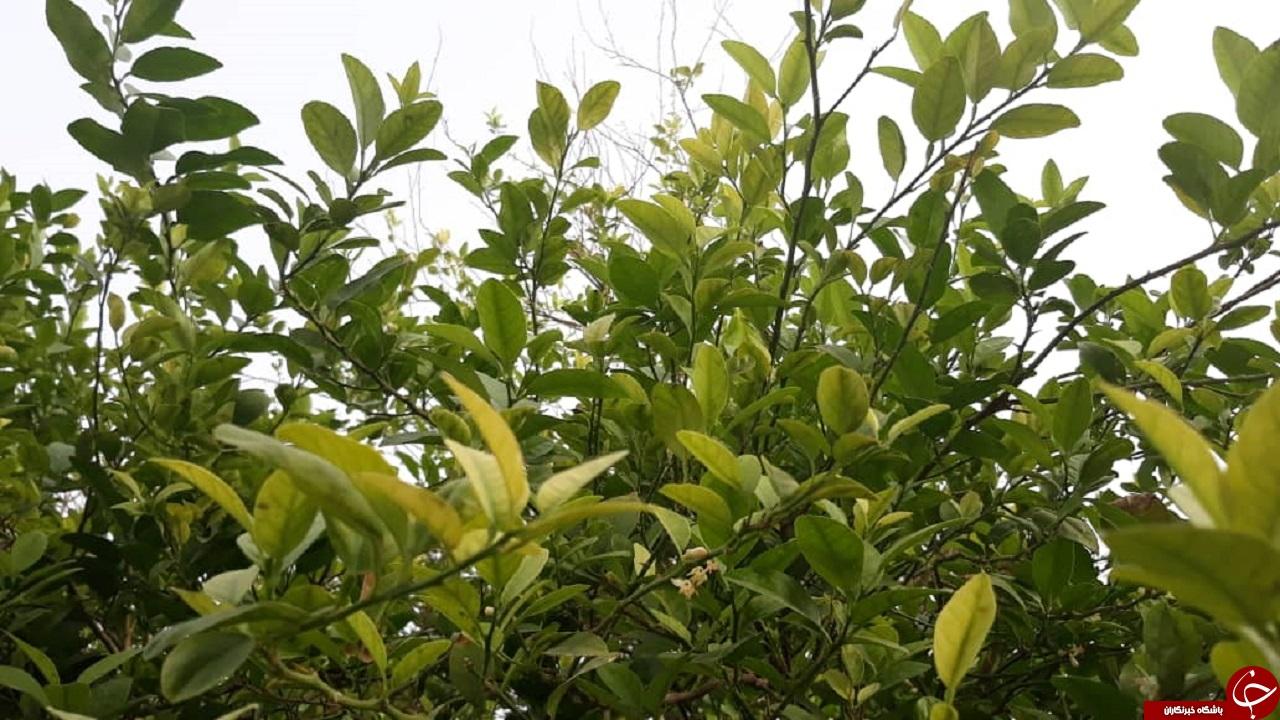 درختان بوی بهار میدهند