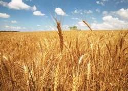 گندمکاران با کمبود کود اوره مواجه هستند / نیازی به واردات گندم نداریم/ سطح زیر کشت گندم به 6 میلیون هکتار رسید