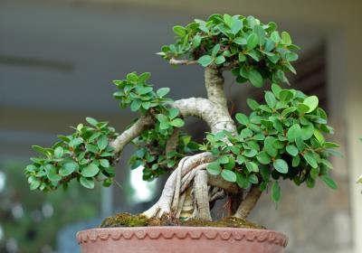 با روش نگهداری از درخت بونسای آشنا شوید