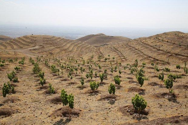 توسعه ۴۵۰ هکتاری جنگل کاری و درختکاری در کبودراهنگ