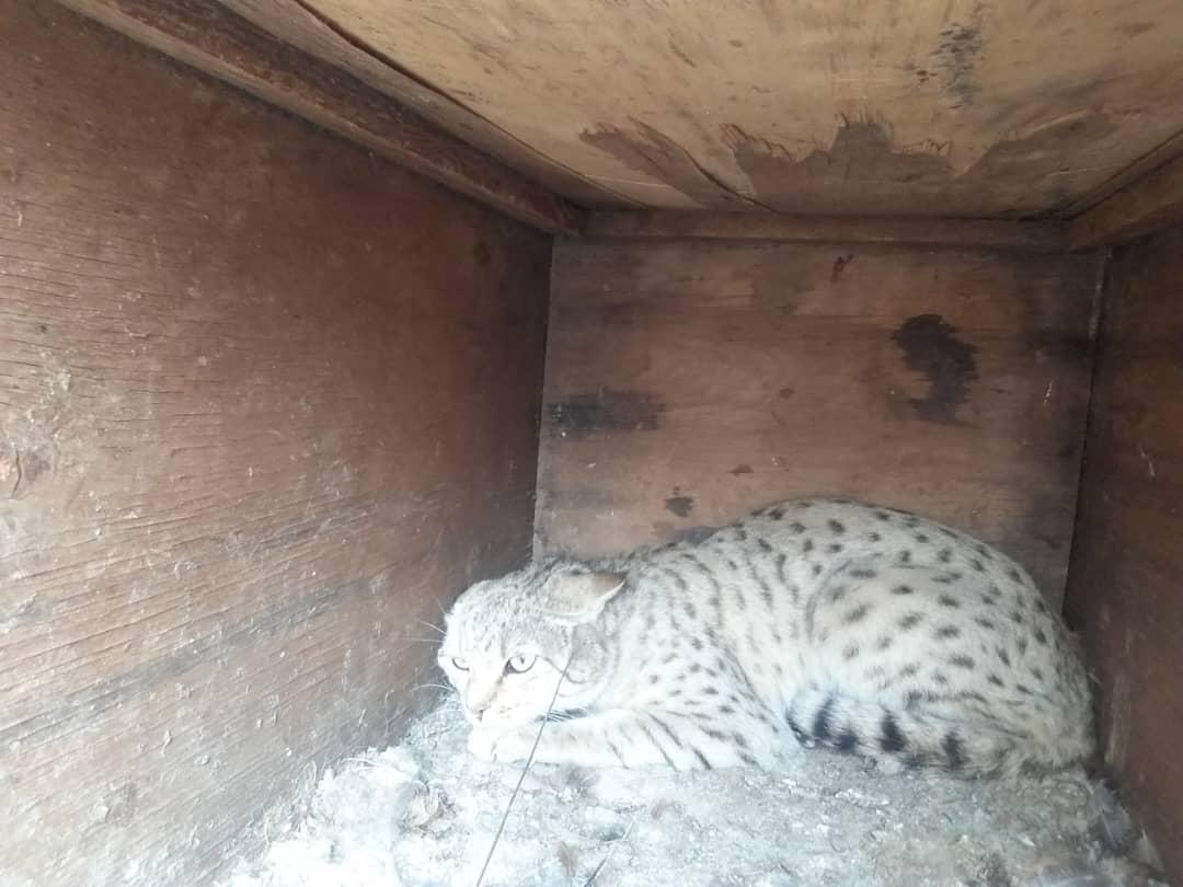 رها سازی یک قلاده گربه وحشی در پناهگاه حیات وحش بختگان