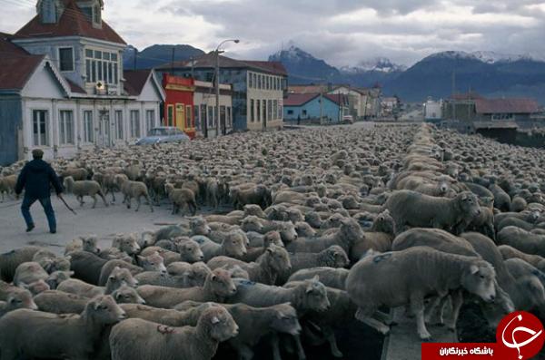 نمایی از حمل و نقل حیوانات اهلی در عکس روز نشنال جئوگرافیک