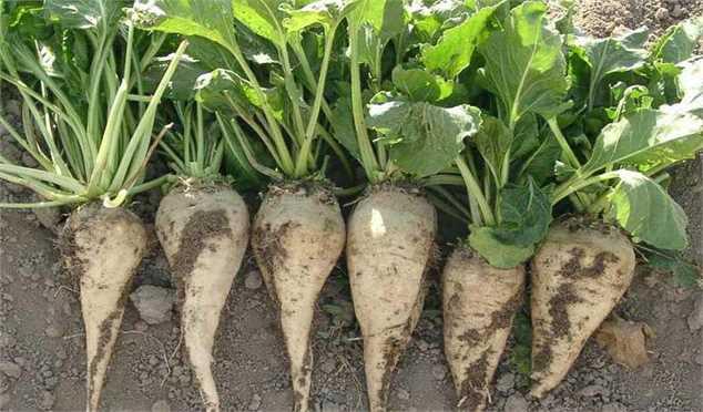 قیمت خرید تضمینی چغندرقند در سال زراعی پیش رو افزایش یافت