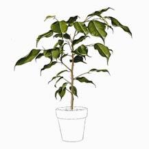 مراقبت از گیاهان آپارتمانی - بنجامین