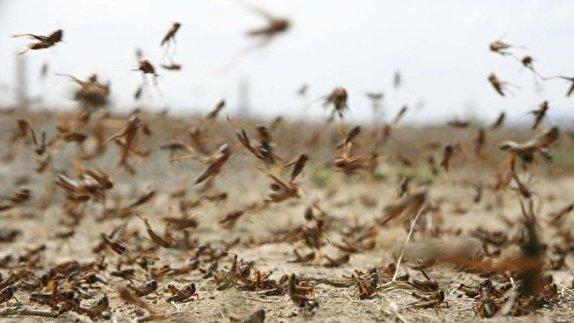 باشگاه خبرنگاران -آخرین جزئیات ورود ملخهای صحرایی به کشور/ تنها یک درصد از سطح کشاورزی مورد تهدید است/ضرورت تخصیص ۱۲ میلیارد تومان اعتبار برای مقابله با ملخ ها