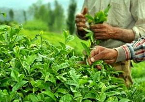 آغاز برداشت برگ سبز چای از هفته اول اردیبهشت/ وقوع سیل اخیر خسارتی به باغات چای وارد نکرد