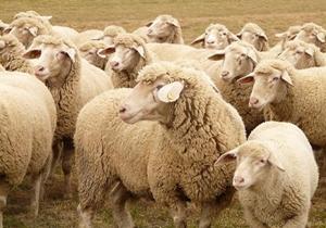 واردات ۹۲ هزار رأس گوسفند زنده از رومانی/ محدودیتی در واردات آلایش خوراک دام وجود ندارد