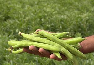 برداشت ۴۰ درصدی باقلا در استان گلستان