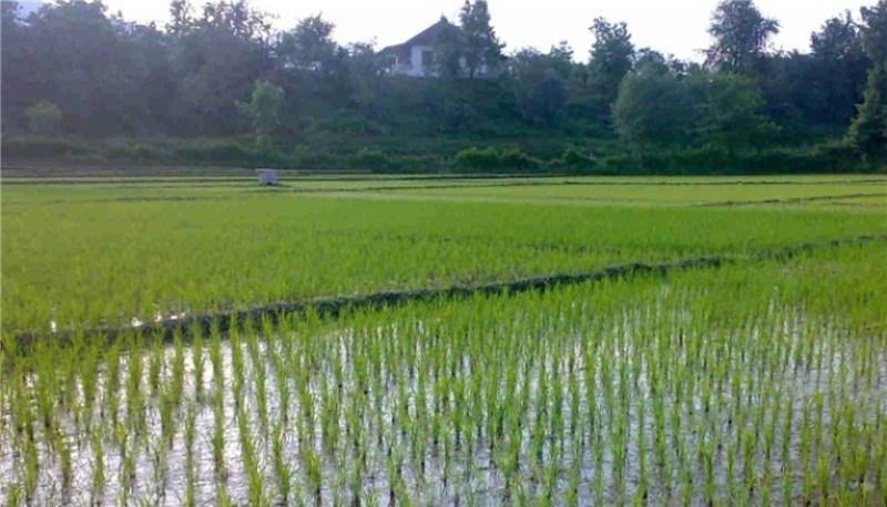 رونقی که بارش 500 میلیارد متر مکعبی باران به زمینهای کشاورزی داد + فیلم