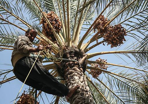 رمضان با جای خالی خرما /گرانی طعم شیرین خرما را تلخ کرد/ حراج درآمد خرماکاران در بازار دلالان