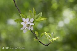 شکوفههای بهاری همدان