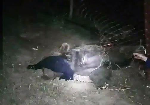 خرس قهوهای پنج ساله از مرگ نجات یافت +تصاویر
