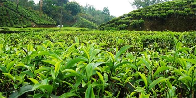 ۲۰ هزار تن برگ سبز چای از چایکاران شمالی کشور خریداری شد