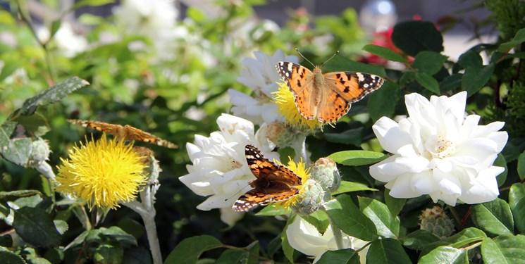 دلیل افزایش پروانه ها در تهران چیست؟