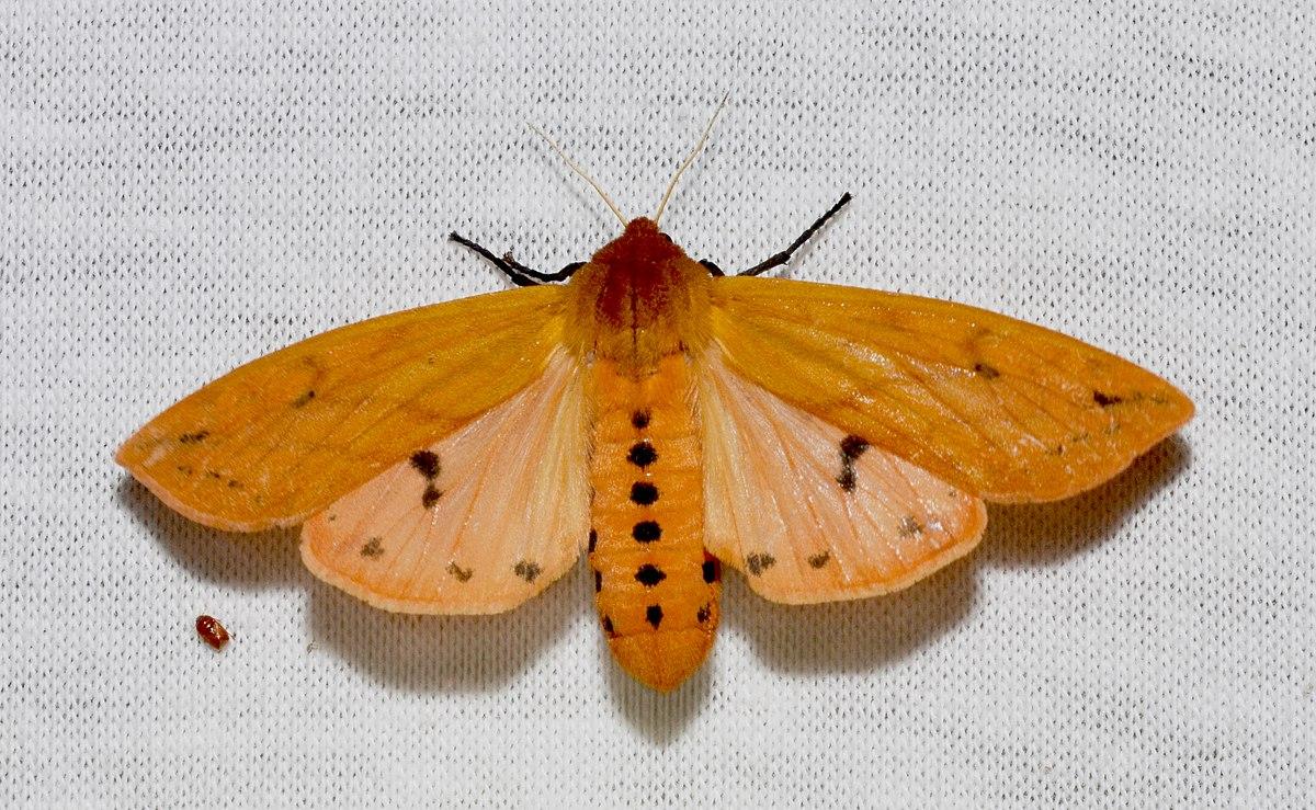 ظهور آفت پروانه در برخی مناطق/ آفت پروانه خسارتی به محصولات کشاورزی وارد نکرد