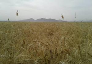 گندم برات مناسب اقلیم لارستان شناخته شد
