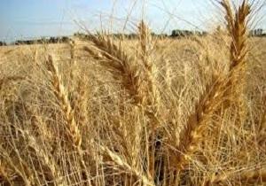 برداشت گندم در ۹ هزار هکتار از مزارع سیستان و بلوچستان انجام شد