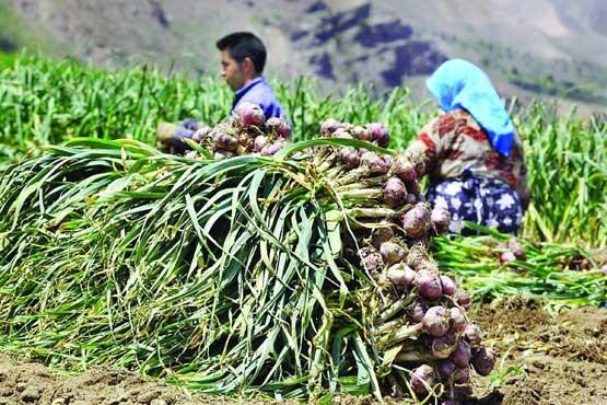 حاصل دسترنجی که جیب دلالان را نوازش می دهد/ صدور دستور خرید توافقی «سیر» از کشاورزان