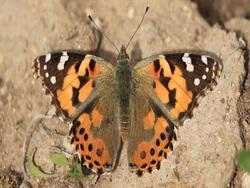 بارندگی های امسال، عامل اصلی فراوانی پروانه ها