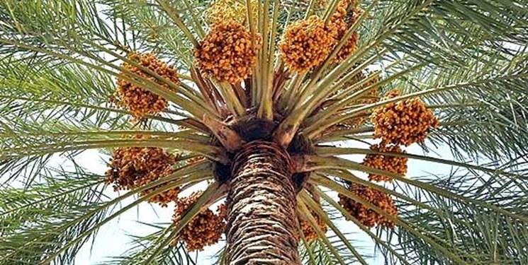 شهرستان فهرج سومین تولید کننده خرما در استان کرمان است