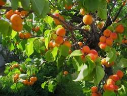امسال بیش از ۱۱ هزار تن زردآلو از باغات ماهنشان برداشت می شود