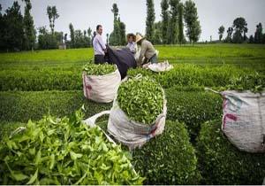 خرید برگ سبز چای به ۳۲ هزار تن رسید/ مشکلی در فروش چای تولید داخل نداریم
