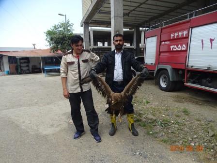 رهاسازی یک بهله عقاب صحرایی در لنگرود