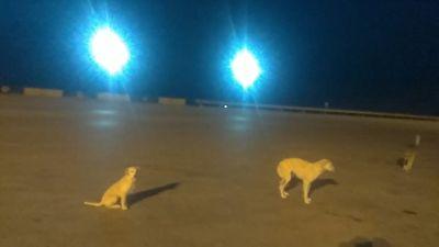 عبور سگهای ولگرد از وسط اتوبان ساوه به همدان + فیلم