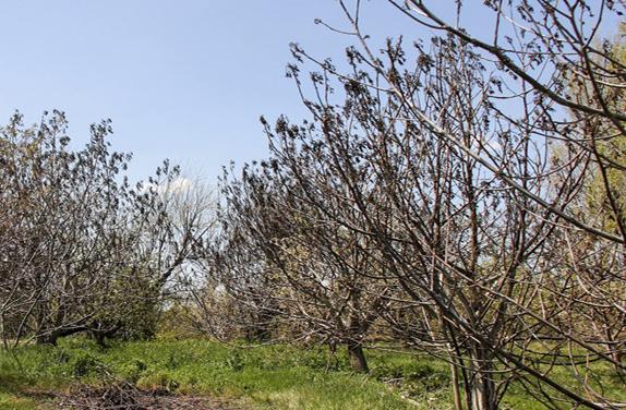 سوز سرمای بهاره بر دل کشاورزان و باغداران