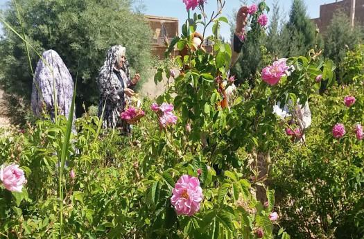 برداشت گل محمدی در امیریه دامغان