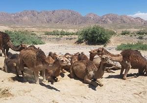 اجرای طرح پایلوت پرورش شتر در منطقه پترگان زیرکوه