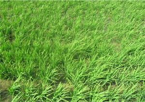 پیش بینی تولید یک میلیون و ۳۵۰ هزار تن برنج در مازندران