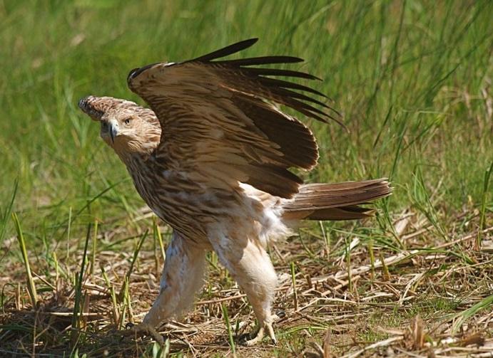 مداوا و رهاسازی عقاب زخمی در نوبران
