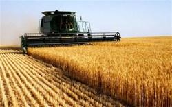 تولید بیش از ۷۰۰ هزار تن گندم در استان همدان