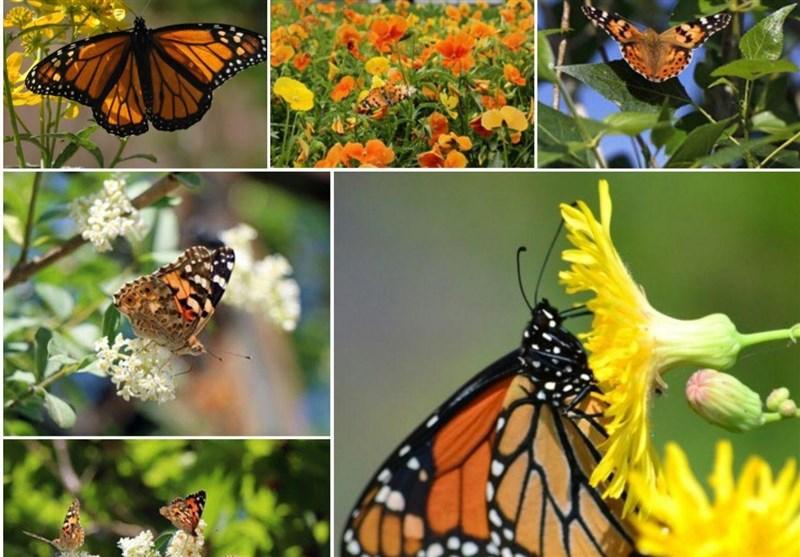 آسمان بیرجند این روزها رنگی است/ پروانه های زیبارو آفت نیستند