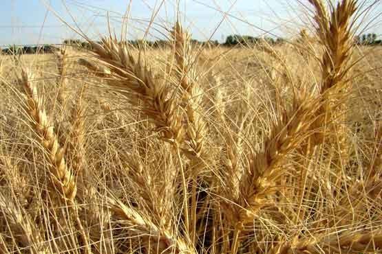 ۱۲۶ هزار تن گندم به مراکز خرید استان بوشهر تحویل داده شد