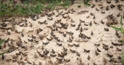 ۱۰۰ میلیارد ریال برای مبارزه با آفت ملخ در کشور مصوب شد