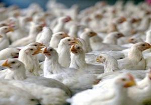توقیف خودروی حامل مرغ زنده در درمیان