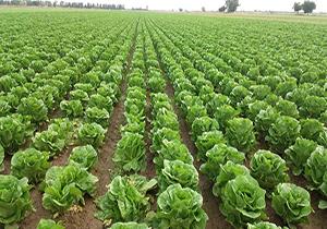 برداشت کاهو در جهرم /اختصاص ۱۰۰ هکتار از مزارع جهرم به کشت کاهو