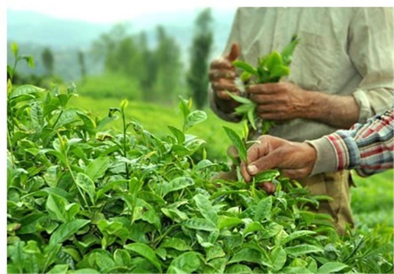 برداشت برگ سبز چای در گیلان و مازندران ۳ درصد افزایش یافت