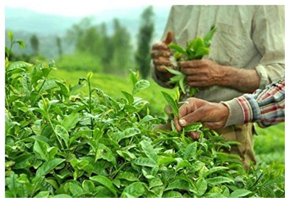 باشگاه خبرنگاران -برداشت برگ سبز چای در گیلان و مازندران ۳ درصد افزایش یافت