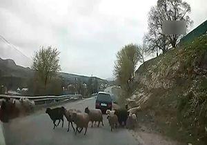 تصادف راننده ناشی با یک گله گوسفند + فیلم