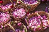 7 هزار متر مربع زمین برای گلاب گیری در ورامین