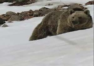 دیده شدن یک خرس عظیم الجثه در الموت + فیلم