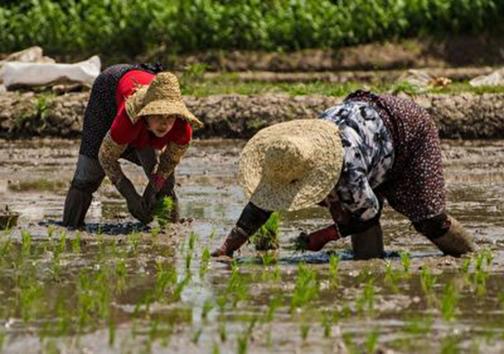 مشق زندگی برنج کاران در آب و گل تا + فیلم