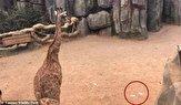 اقدام عجیب گردشگران چینی حین تماشای زرافه در باغ وحش! +فیلم