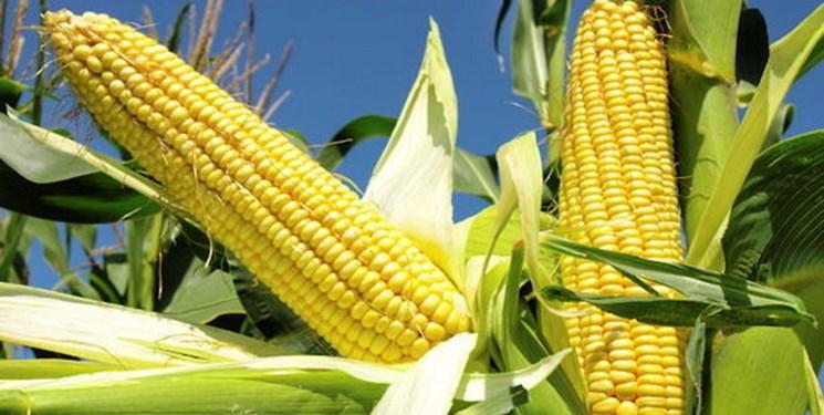 تولید ۸۰ درصد بذر ذرت هیبرید کشور در پارس آباد