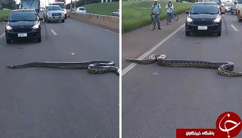 آناکوندایی که رانندگان را مجبور به توقف کرد+تصاویر
