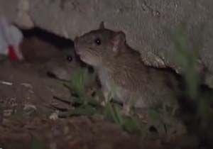 گزارش موبایلی معصومینژاد از شهر موشها در ایتالیا + فیلم